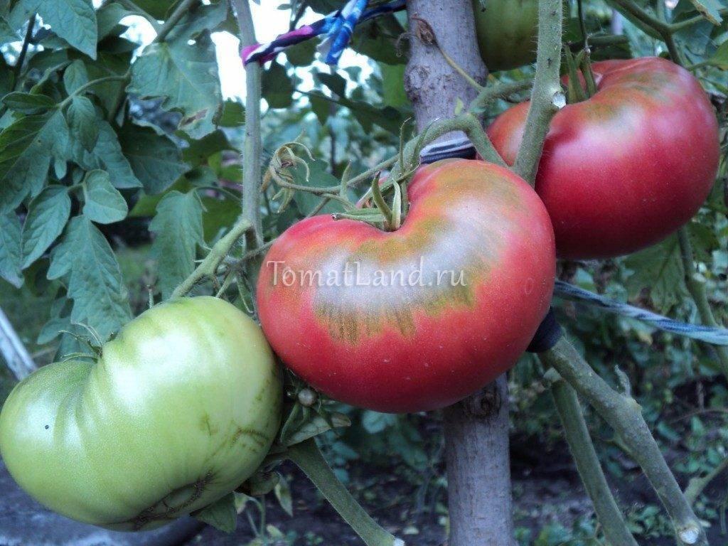 Фото, отзывы, описание, характеристика и урожайность сорта томата «бийская роза»
