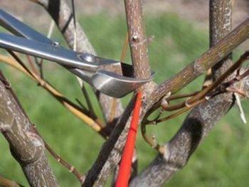 Обрезка грецкого ореха весной видео для начинающих