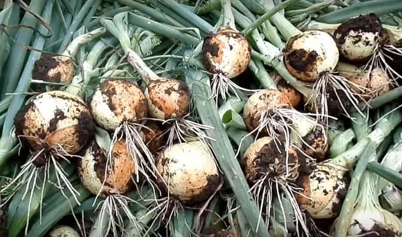 Характеристика сорта лука геркулес и особенности ухода