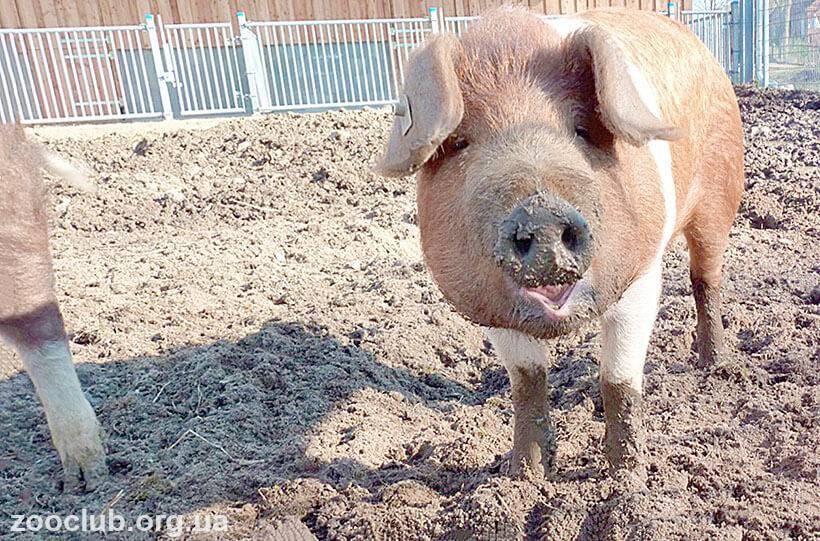 Технология свиноводства