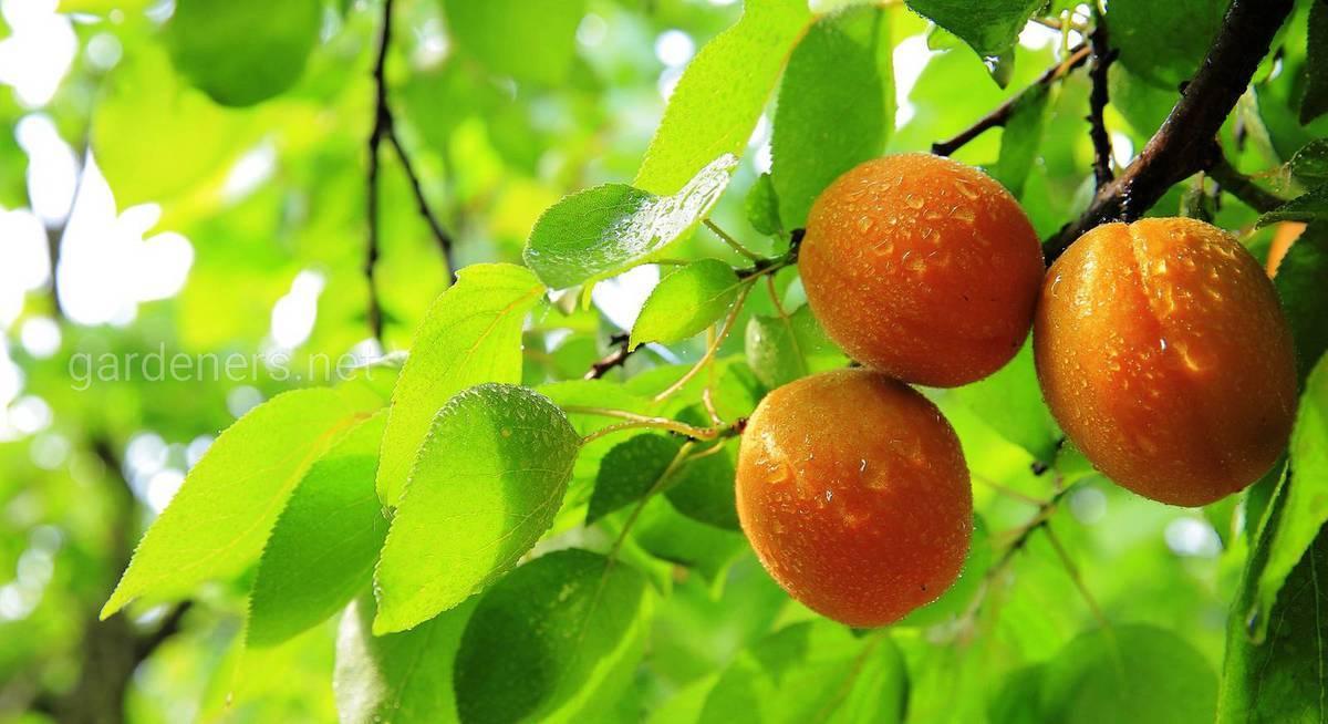 Правила посадки и ухода за абрикосом в подмосковье