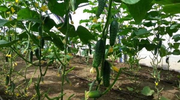 Огурцы сорта маша f1 — лучший выбор огородников!