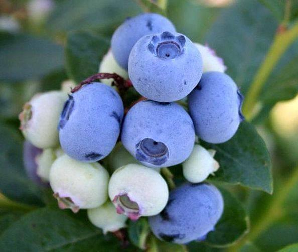 Голубика садовая элизабет: особенности посадки, ухода и размножения