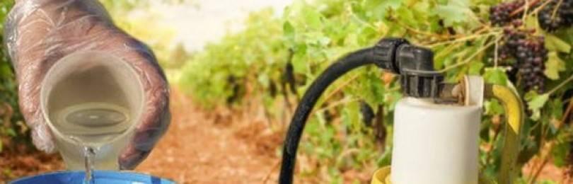 Болезни и вредители винограда: как распознать симптомы и подобрать лечение