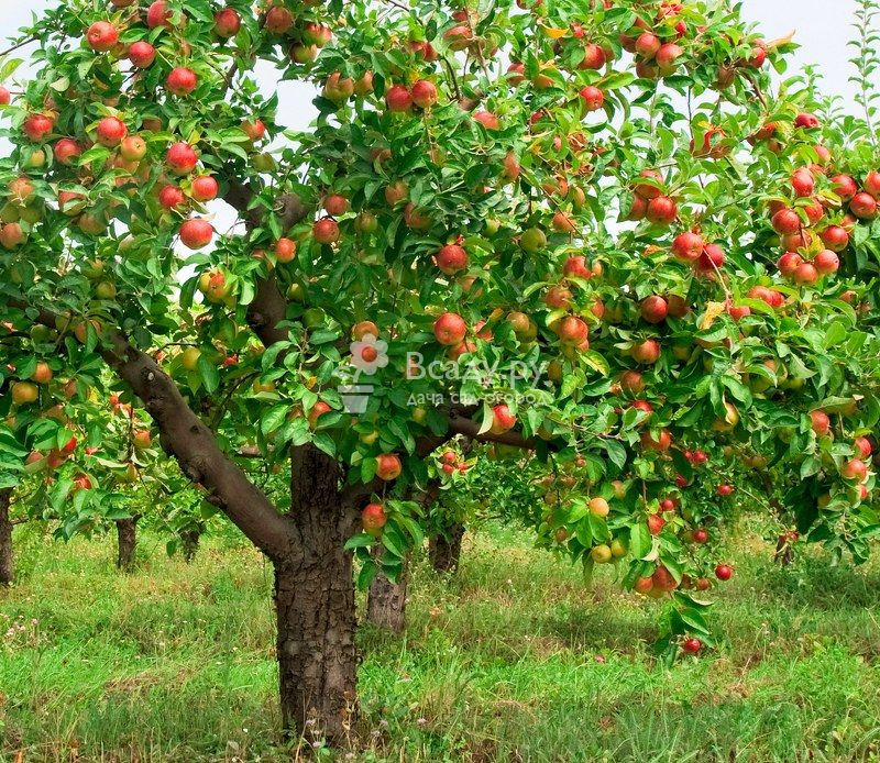 Описание сорта яблони лобо