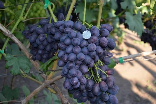 Описание и характеристики винограда сорта Айрен, посадка и уход