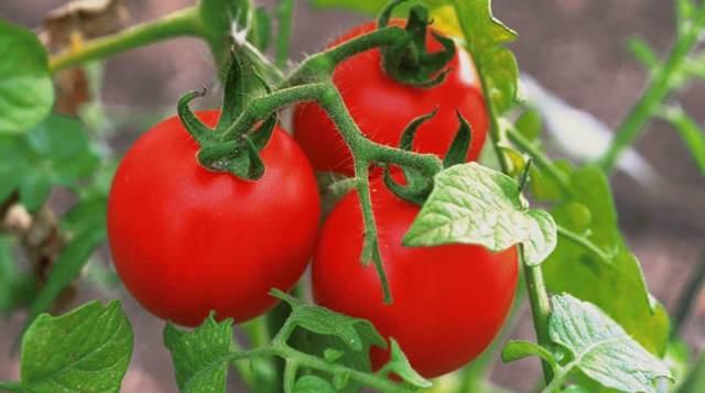 Описание сорта томата Мулен Руж, его характеристика и выращивание