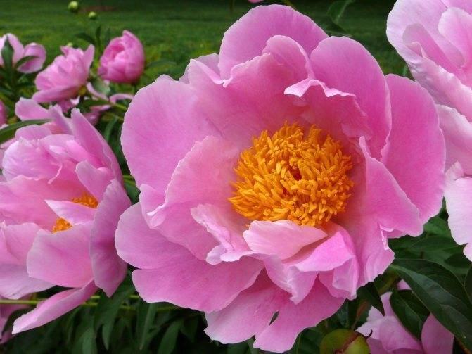 Травянистые пионы: лучшие сорта, посадка и уход