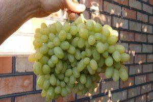 Виноград «ландыш» — описание сорта, фото и отзывы