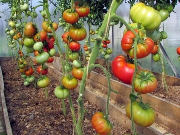 Томат майская роза: характеристика и описание сорта, урожайность с фото