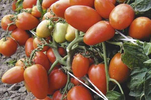 Характеристика томата сорта рио гранде