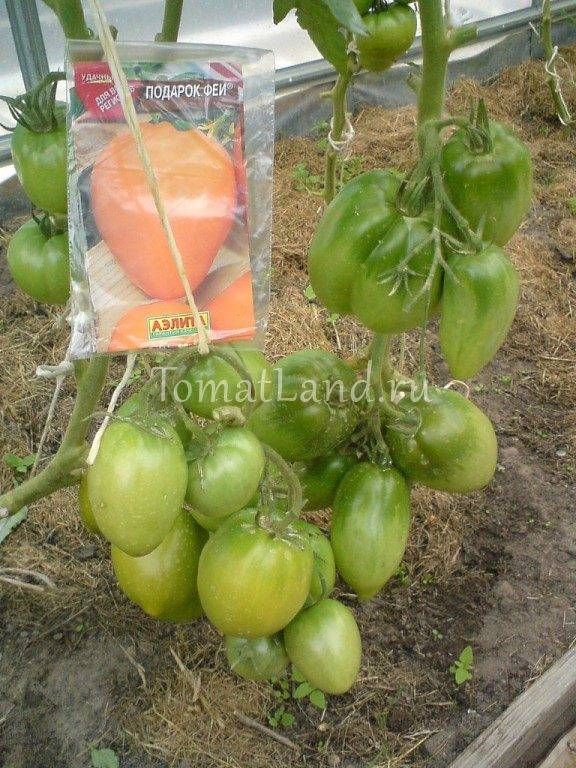 Описание сорта томата Подарок феи и его характеристики