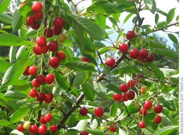 16 самоплодных сортов вишен