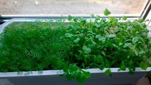 Как выращивать петрушку на подоконнике: посадка и уход