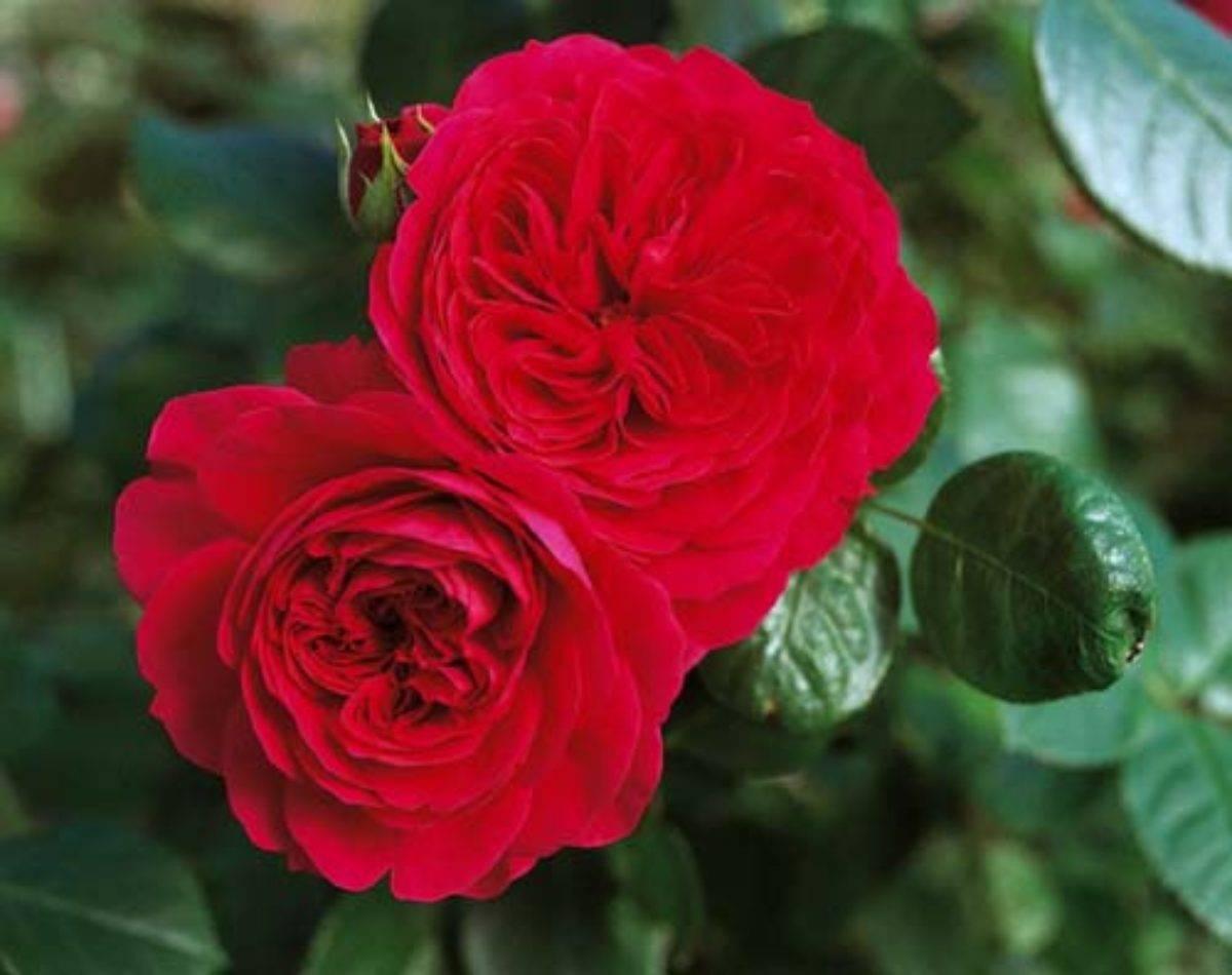 Описание и правила выращивания гибридной розы сорта госпел