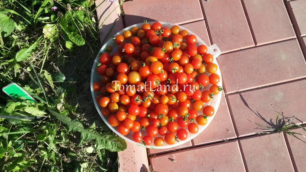 Томат загадка: описание и характеристика сорта помидор, выращивание