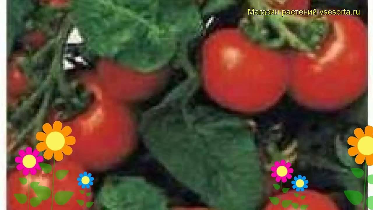 Правила посадки и выращивания сорта томатов пиноккио