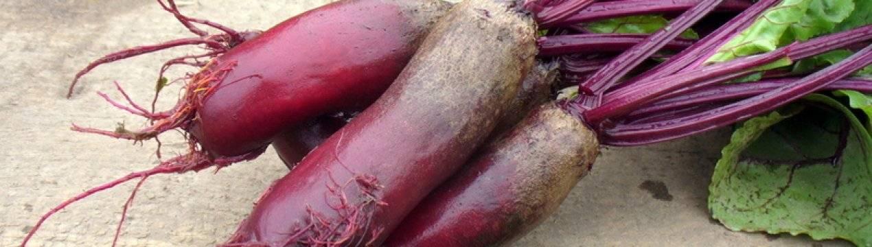 Среднеспелая кормовая свекла эккендорфская желтая: особенности сорта, посадка, уход и хранение урожая