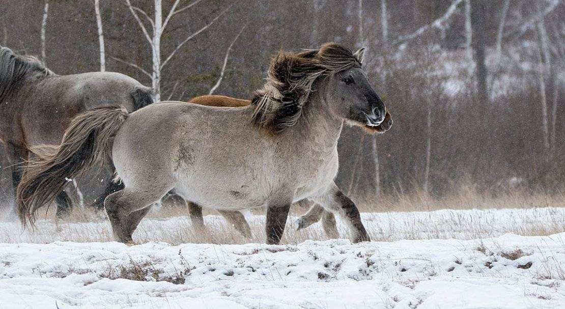 Преобразование алтайской породы лошадей