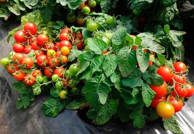 Фаворит среди дачников для выращивания в теплице — томат «бабушкино лукошко»