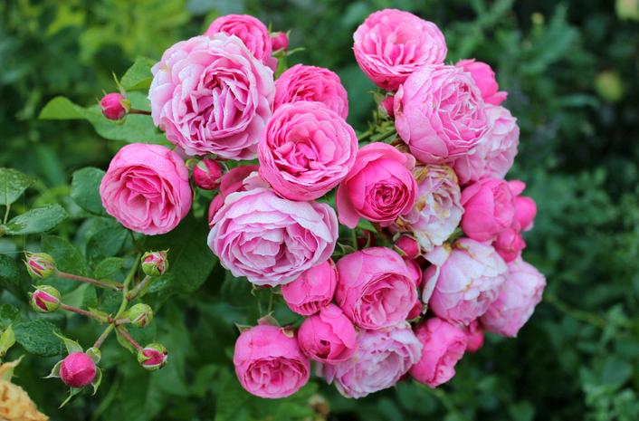 Описание розы сорта Аспирин, выращивание, уход и размножение