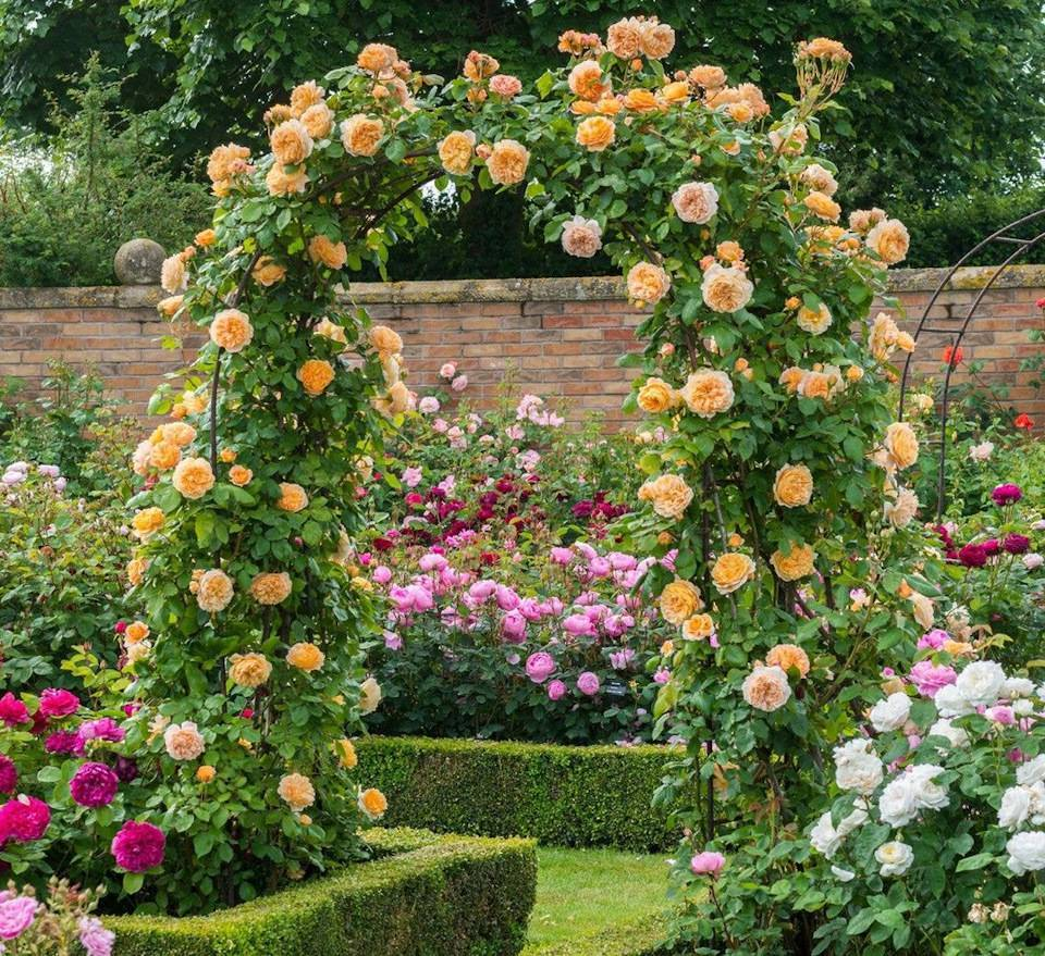 Посадка роз весной: как сохранить здоровые черенки в течение всей зимы? лучшие советы и рекомендации