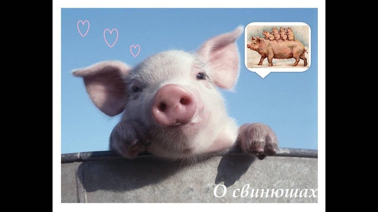 Как выполняется искусственное осеменение свиней и каковы особенности процесса
