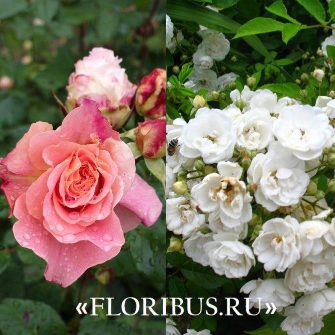 Полиантовые розы: фото и описание сортов, уход и выращивание из семян, черенков, укрытие на зиму