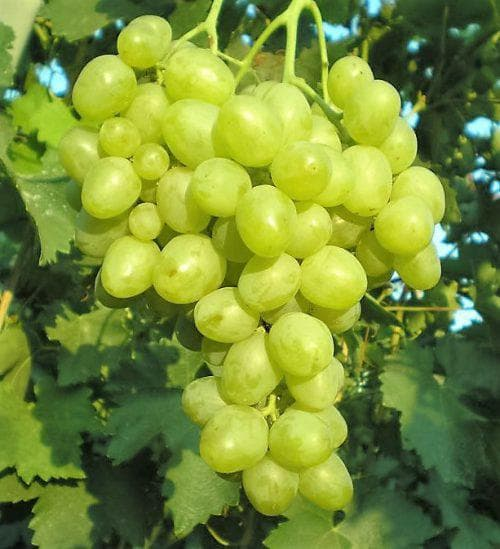 Сорт винограда супер-экстра