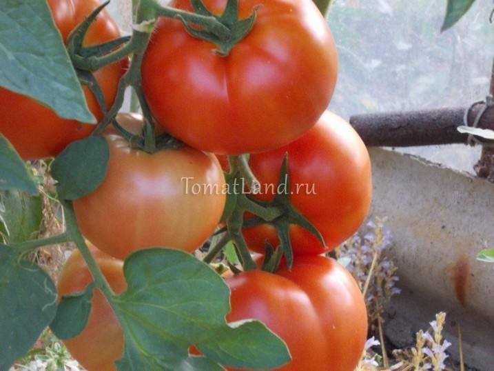 Бенито томат: описание растения и правила посадки