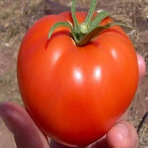 Жимолость мальвина – урожайный сорт с нежными плодами