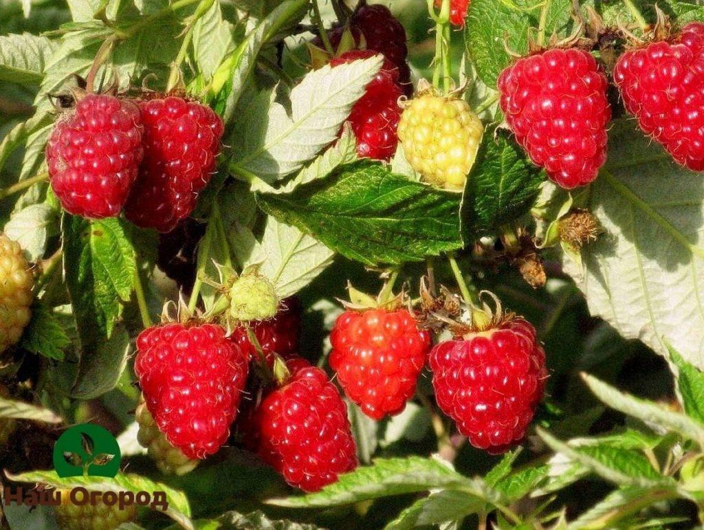 Малина: посадка и уход, выращивание и болезни