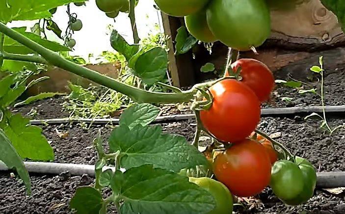 Ранний малыш-томат дубок