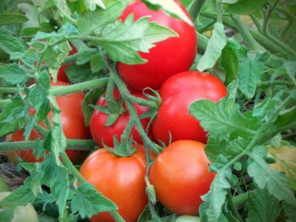 Томат «король гигантов»: как получить богатый урожай