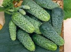 Огурцы теща: характеристика сорта и особенности его выращивания