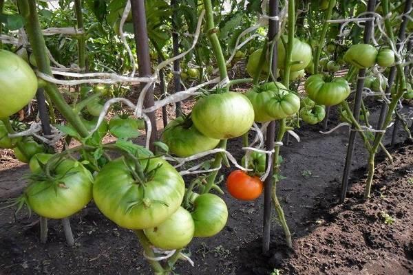 Описание сорта томата Толстый сосед, его характеристика и урожайность