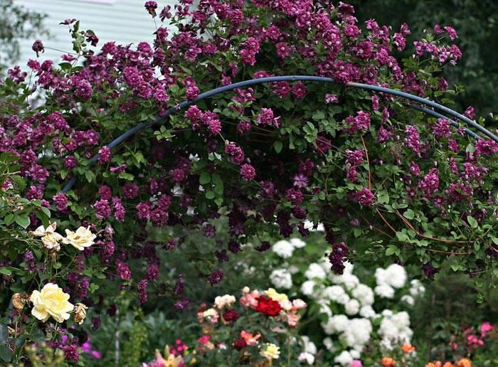 Клематис пурпуреа плена элеганс: описание, советы по посадке и уходу