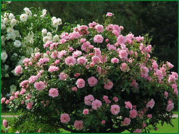 Чайно-гибридные розы: посадка и уход, сорта, фото, видео