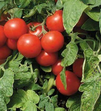 Томат агата: характеристика и описание сорта, урожайность с фото