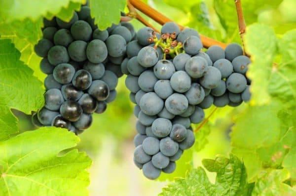 Виноград мукузани: описание сорта и характеристики, правила посадки и ухода