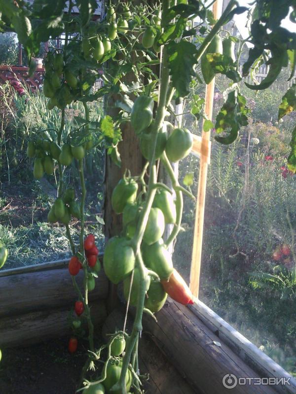 Искры пламени томат описание сорта отзывы фото