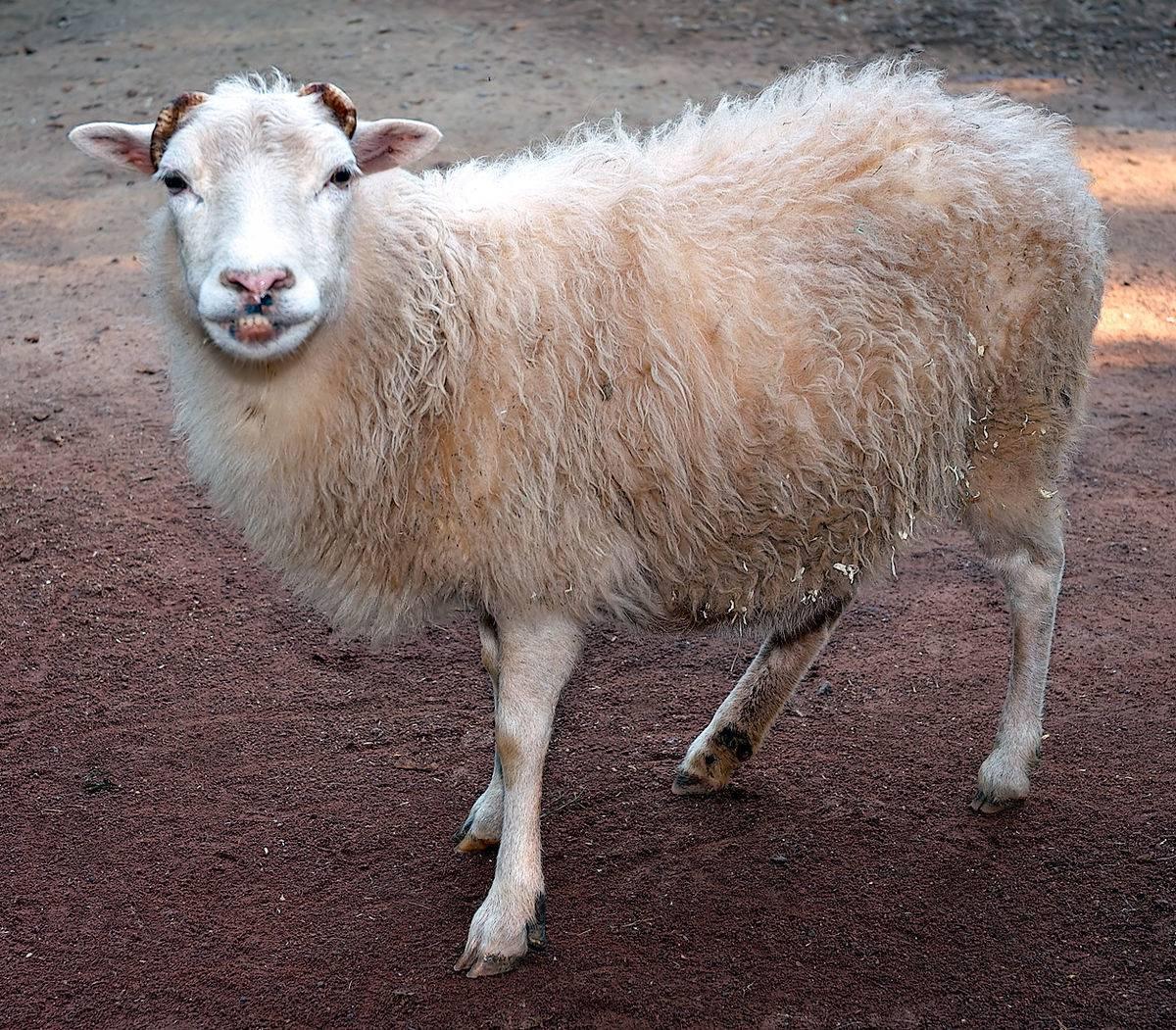Как проходит случка овец?
