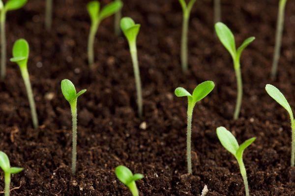 Срок хранения и годности семян укропа для посадки