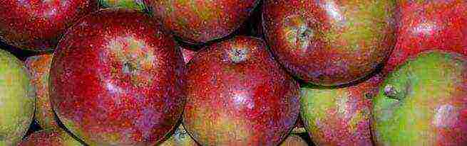 Яблоня роялти: особенности сорта и ухода