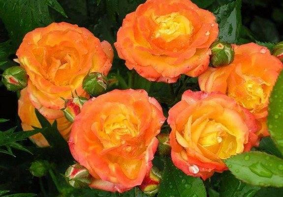 Сорта роз (с фото и названиями): описание