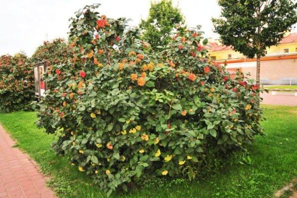 Калина гордовина: описание и особенности выращивания кустарника