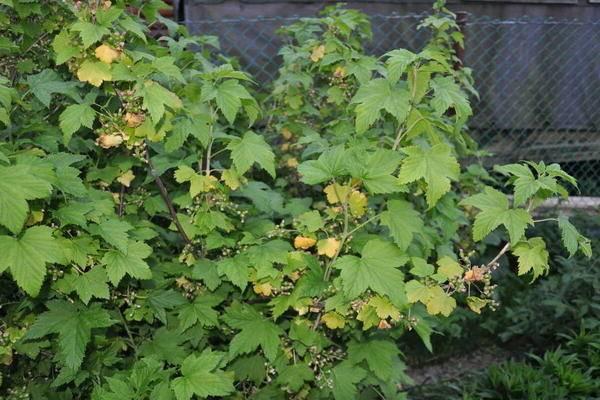 Почему на черной смородине опадают листья. что делать, если у смородины желтеют листья