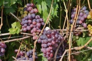 Описание сорта винограда низина и его характеристики, достоинства и недостатки