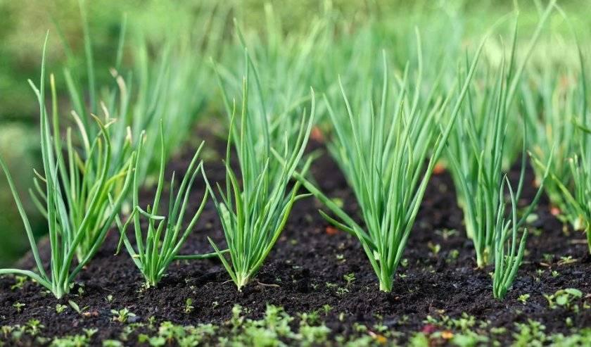 Как поливать лук в открытом грунте и когда не стоит этого делать