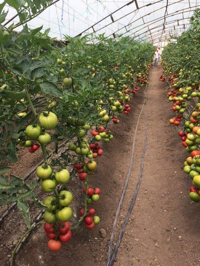 Томат пинк мэджик f1 — описание сорта, отзывы, урожайность